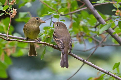 IMG_1842 Cordilleran Flycatcher Parent & Fledgling | by lois manowitz
