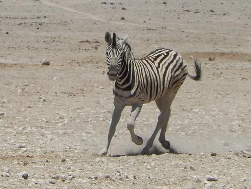 Etosha NP -  zebra rent
