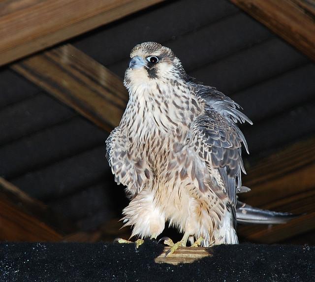 Peregrine Falcon juvenile (2013December6 (114))