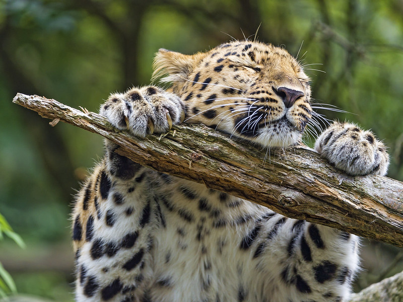 This leopard really loves his branch!