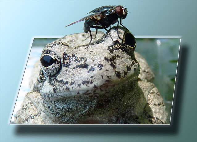 Eastern Gray Tree Frog and Blue Bottle Fly