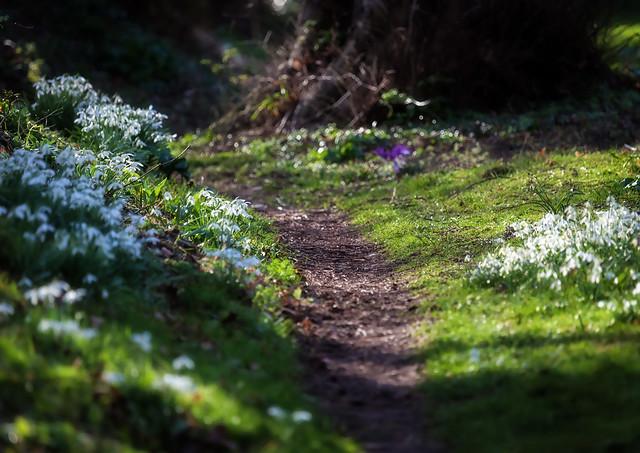 Snowdroppy Path