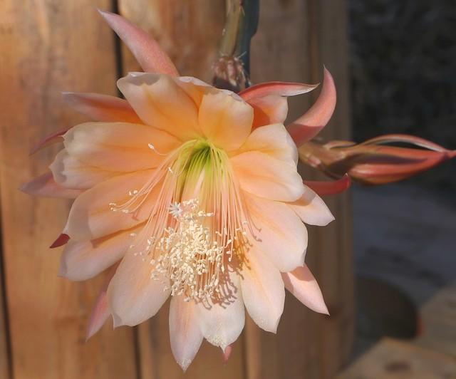 Epiphyllum (3)