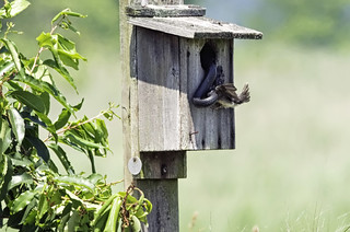 Nestbox with swallow and snake. | by Kelly Colgan Azar