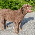 Dali, Spanish Water Dog