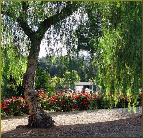 ranch roses usa fence landscapes willow redroses morningsun redlandsca inlandempire dgrahamphoto
