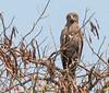 Mørk Slangeørn - Brown Snake Eagle (Circaetus cinereus) by Søren Vinding