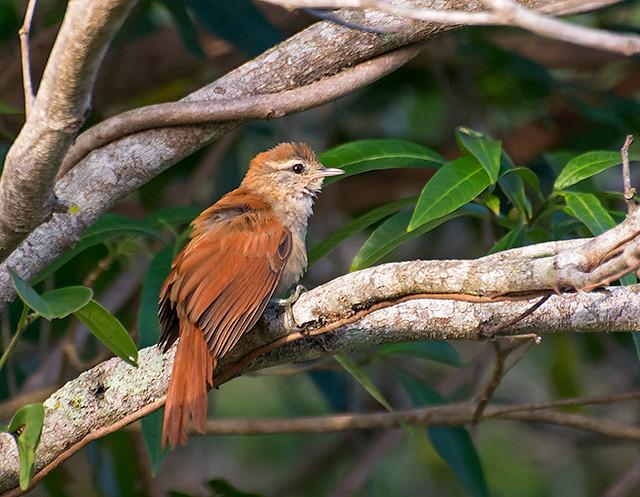 ARREDIO-DO-RIO (Cranioleuca vulpina)