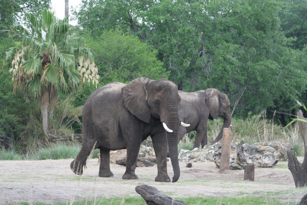 African Elephants on Kilimanjaro Safari - Animal Kingdom - Walt Disney World