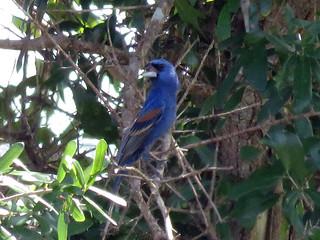 Blue Grosbeak | by magnificentfrigatebird