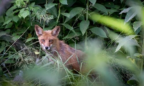 Fox   by sneakerdog