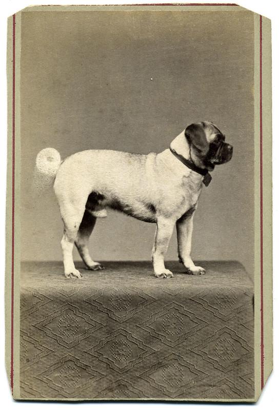 Classic Pug