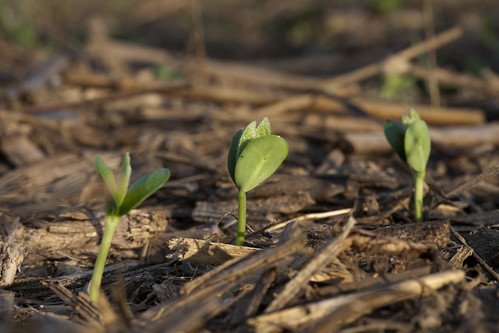 Soybean Sprouts During Early Growth | by UnitedSoybeanBoard