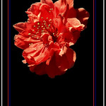 红桃 (20)