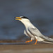 Little Tern - Photo (c) Leo, some rights reserved (CC BY-NC-SA)