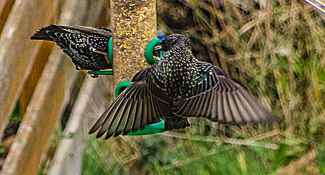 Starlings at the Feeders