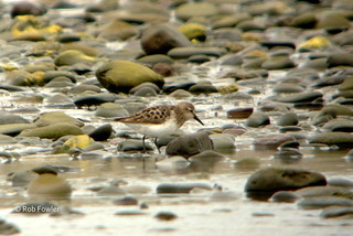 Semipalmated Sandpiper (adult) | by Rob Fowler