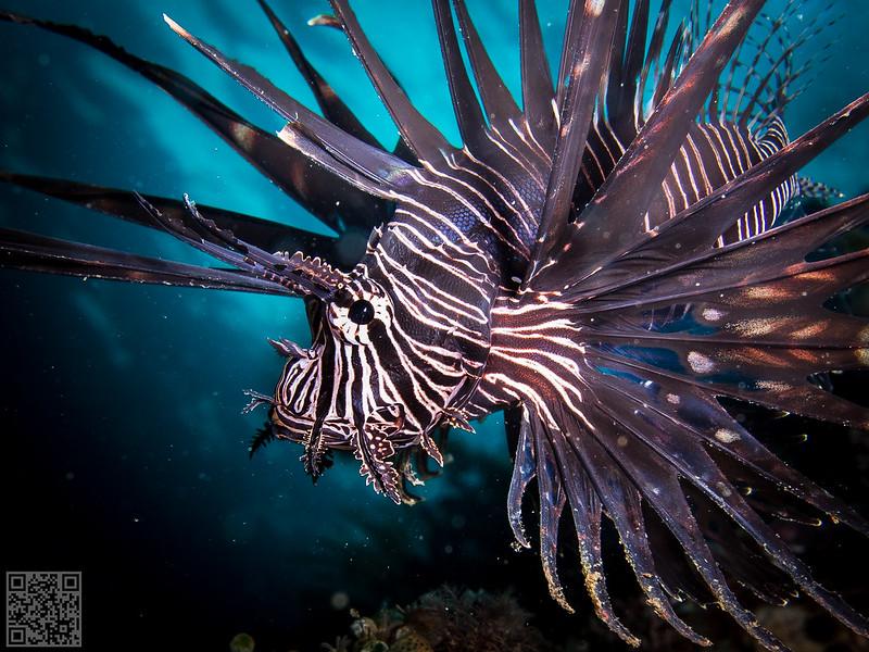 Black Volitan Lionfish