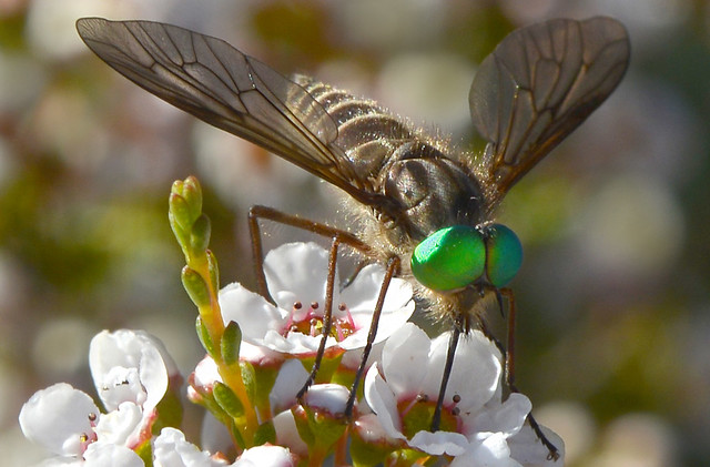 Green eyed fly
