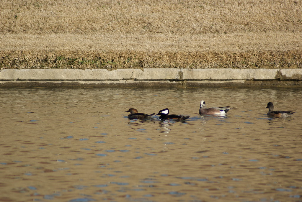 Hooded Mergansers Juvi male and  adult male/ M&F Am Wigeon
