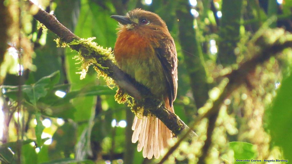 Near endemic, Moustached Puffbird, Malacoptila mystacalis, Mistrato,Pacific/Chocó Natural Region