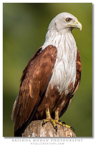 india birds asia aves karnataka accipitridae brahminykite haliasturindus chordata haliastur uttarakannada bhatkal accipitriformes redbackedseaeagle haliasturindusboddaert1783 tamronsp150600mmf563divcusdlensreview