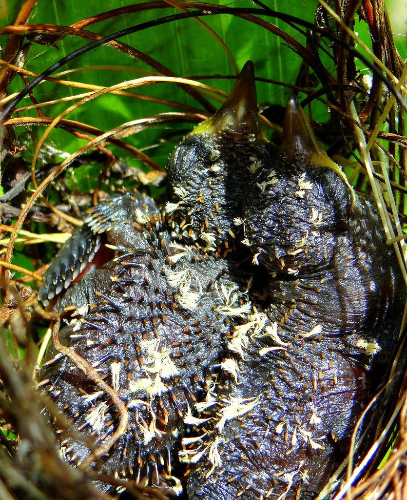 Ermitaño pecho canela [Rufous-breasted Hermit] (Glaucis hirsutus affinis) (pichones [nestlings])