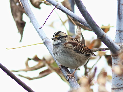 White-throated Sparrow 20161020