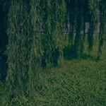 柳 : Willow