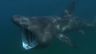 Basking Shark | by Green Fire Productions