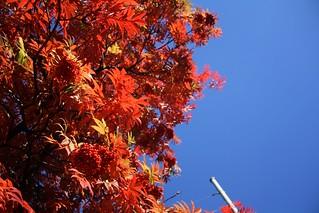 Autumn leaves - Rowan | by blondinrikard