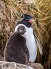Rockhopper Penguin (Eudyptes chrysocome) by David Cook Wildlife Photography