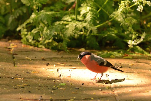 Bullfinch in the spotlight | by InsanePenguinPhotography