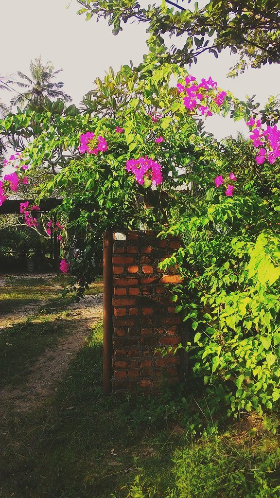 Bunga Kertas Nama Saintifik Bourgainville Lokasi Kampu Flickr
