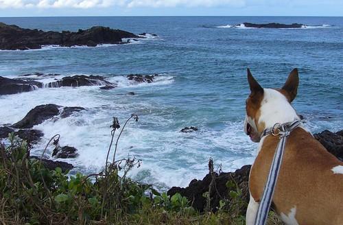 dog harbour bully bullterrier coffs sawtell