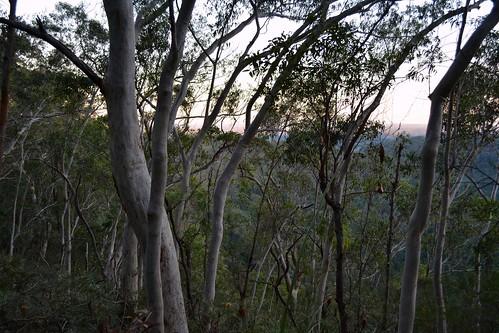 trees plants nature landscape countryside scenery australia nsw treebark treescape northernrivers nightcapnationalpark minyonfalls nightcaprange banksiaspinulosavarcollina hillbanksia eucalyptussignata northernscribblygum drysclerophyllwoodland northcoastbotanicalsubdivision