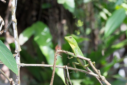 Green Crested Lizard | by gidovd