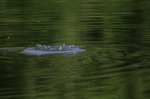 Coot submerging III | by Aztlek
