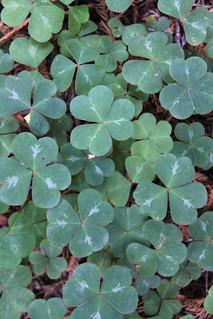 Any luck?  Three-leaved Shamrock   by daveynin