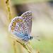 Polyommatus icarus/Common Blue by fushoku