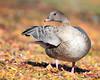 Pink-footed Goose by rhysmarsh
