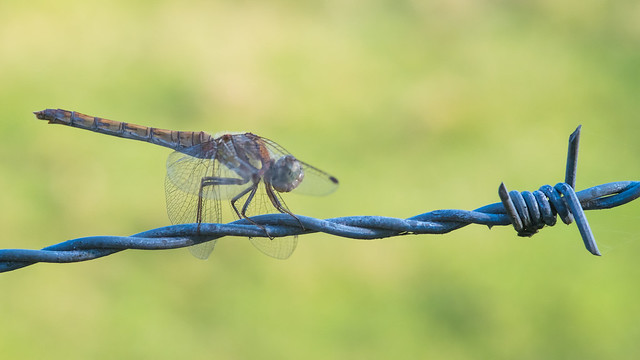 Common Darter ♂ on a pasture fence II