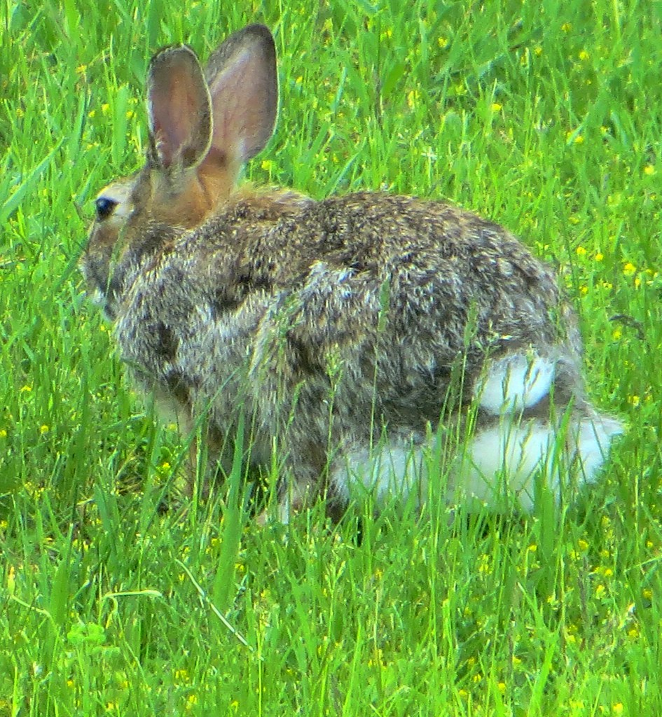 Rabbit in My Yard | Grey rabbit and the other is a brown ...