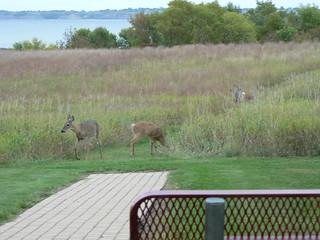 Lake Sakakawea deer   by ND Parks and Recreation Department