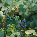 Blueberries at Avalon