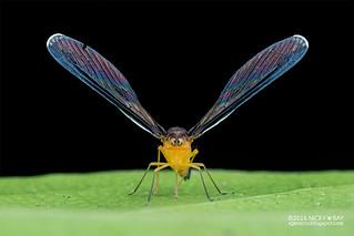 Derbid planthopper (Derbidae) - DSC_2695