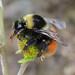 Bombus monticola (Bilberry/Blaeberry Bumblebee)