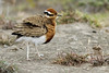 temminck's courser by Wildlife photos by Paul Donald