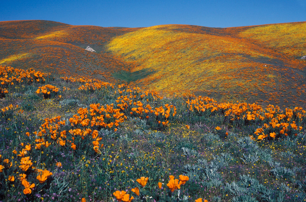 Antelope Valley California Poppy Reserve SNR | Best Place to