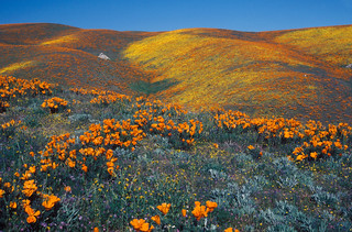 Antelope Valley California Poppy Reserve SNR | by California State Parks